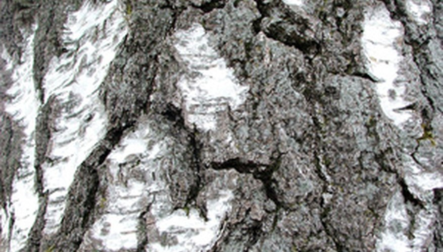 Termites build mud trails over trunks.