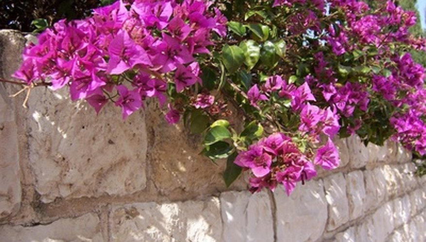 Bougainvillea growing along a retaining wall.