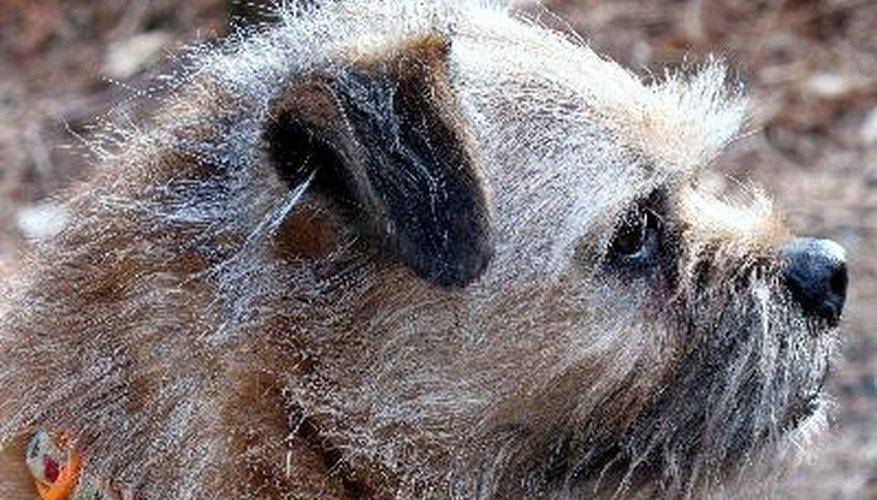 The head of a border terrier is described in the breed standard as having an otter-like appearance.