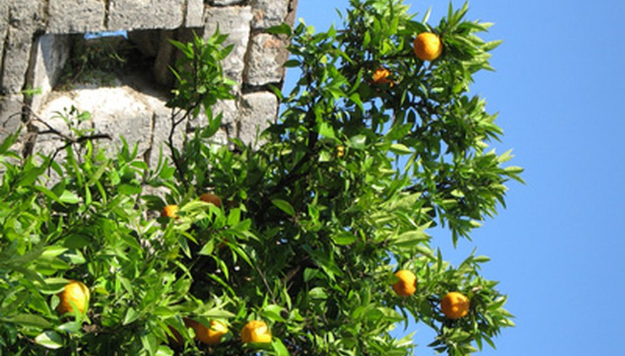 Orange trees produce white blossoms before bearing fruit.