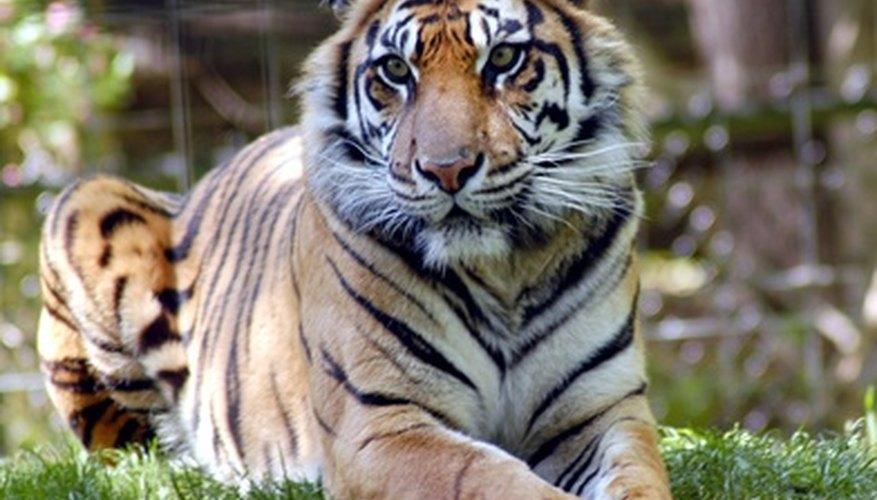 Los tigres funcionan como un disfraz de selva perfecto.