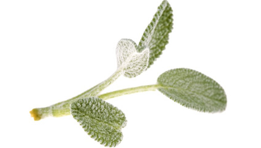 A sprig of the perennial herb white sage.