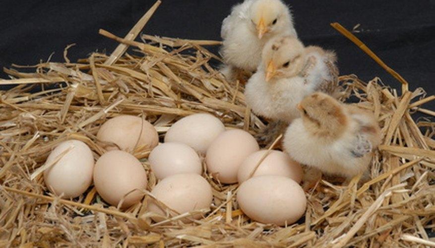 Puedes ganar dinero criando pollos.