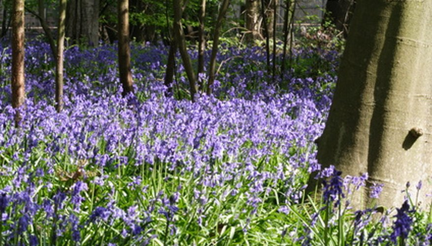 "In Welsh, bluebells are ""cuckoo bells."""