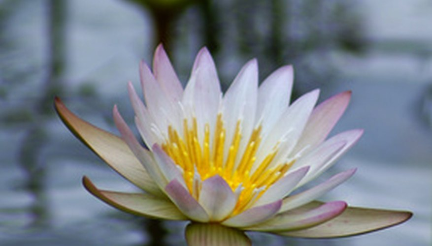 Waterlily flowers held above the water's surface.