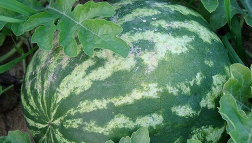 A watermelon ripe for harvesting fresh in the field