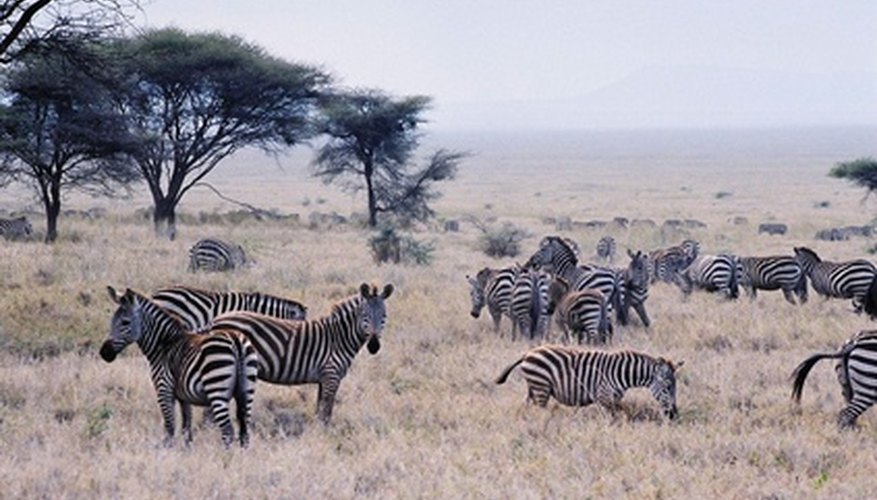 Zebras under an acacia tree