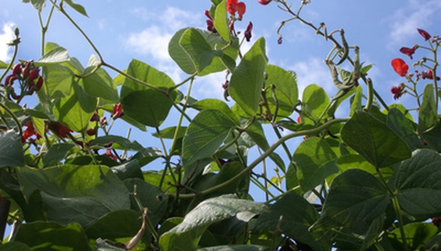 Scarlet runner bean vines