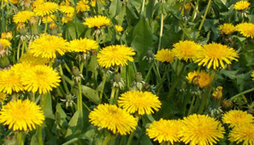 A string trimmer can help control weeds such as dandelions.