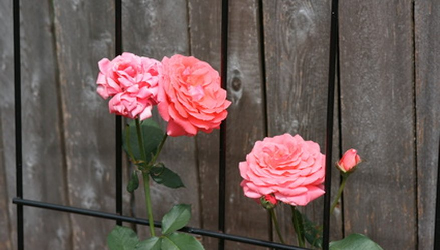 Roses are susceptible to fungal infections that may be fatal if left untreated.