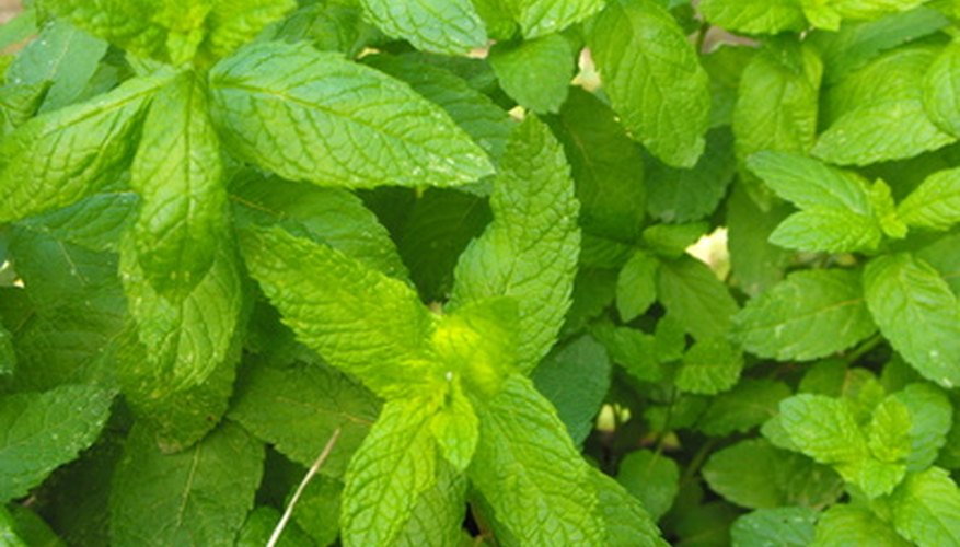 Use peppermint for cooking, teas and potpourri.