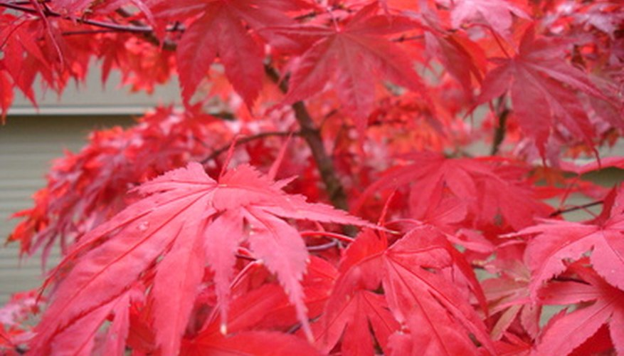 Japanese red maples have showy read foliage in the Autumn
