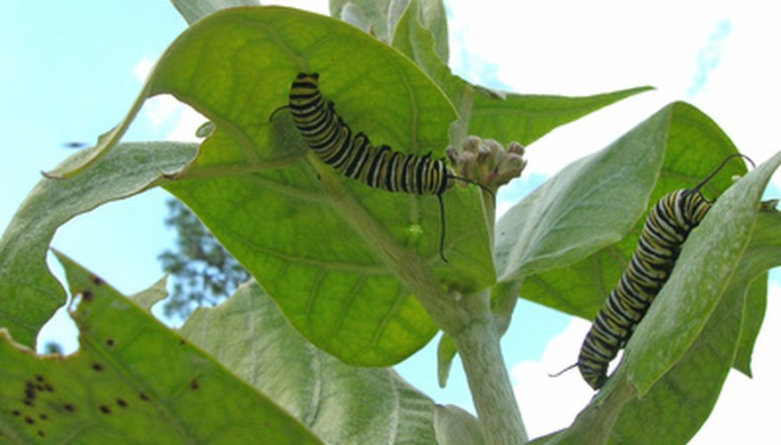Butterfly gardeners should avoid pesticides, because they are lethal to caterpillars like these monarchs.
