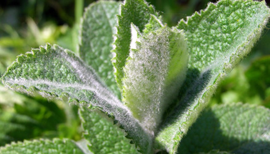 Mint plants produce aromatic leaves used for flavoring food and drinks.