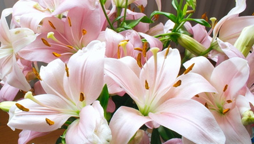 Oriental lilies are prone to diseases caused by poor drainage and wet conditions.
