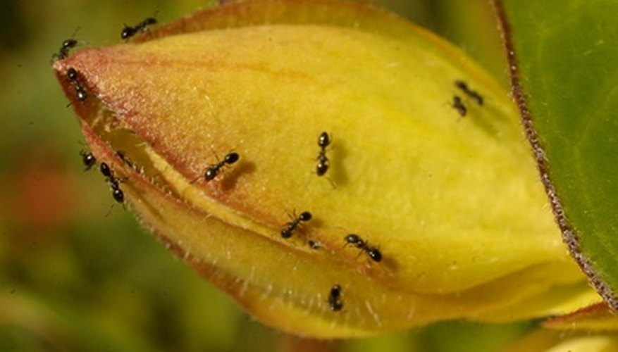 Ants on your plants are not a good thing.