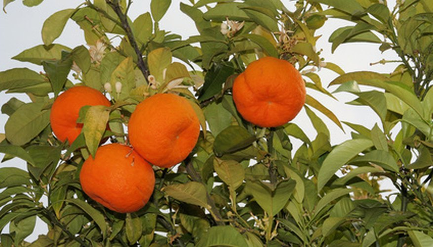 Citrus trees grow well throughout Florida.