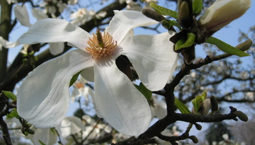 Large blossoms are characteristic of a Southern Magnolia tree.