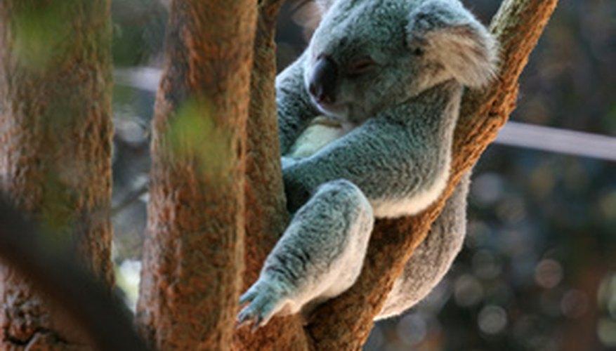 El oso koala es un miembro de la clase taxonómica infra-Marsupialia.