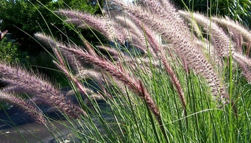 Ornamental grass growing wild.