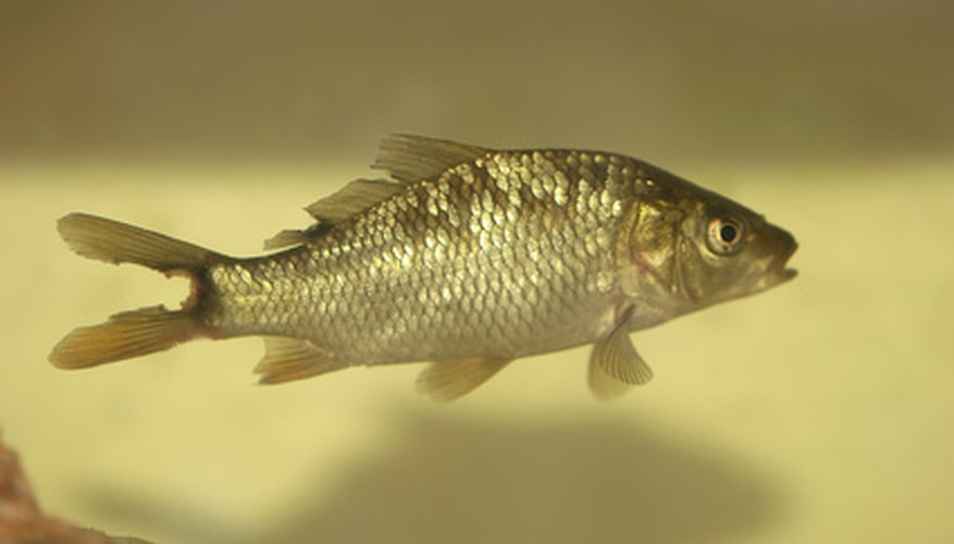 Triploid grass carp cannot reproduce and eat their own body weight in duckweed every day.