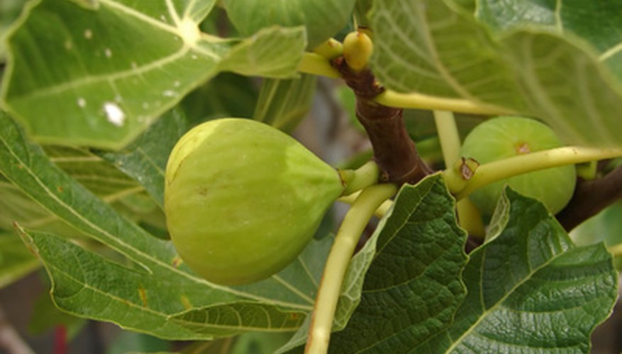 Allow figs to ripen on the tree.