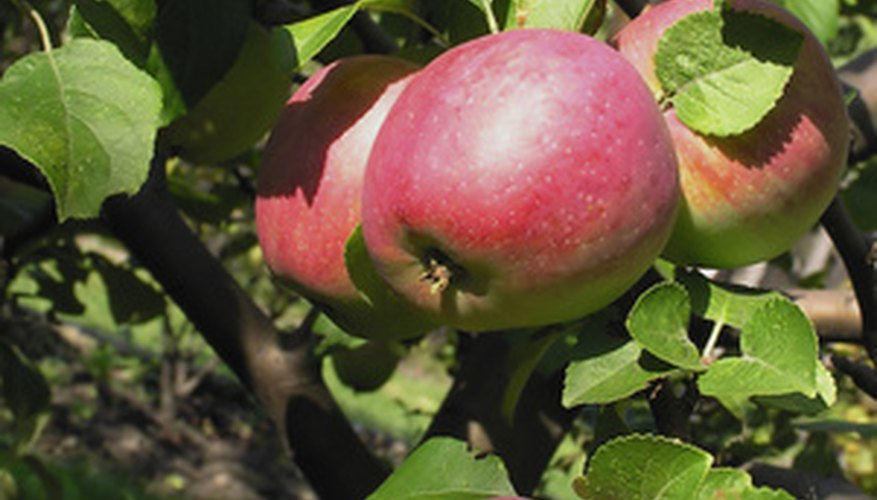 Apple trees planted in the right soil can thrive.