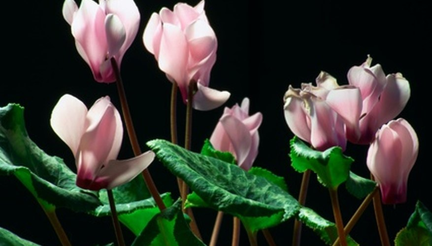 Plant cyclamen bulbs in spring for a late-summer bloom.