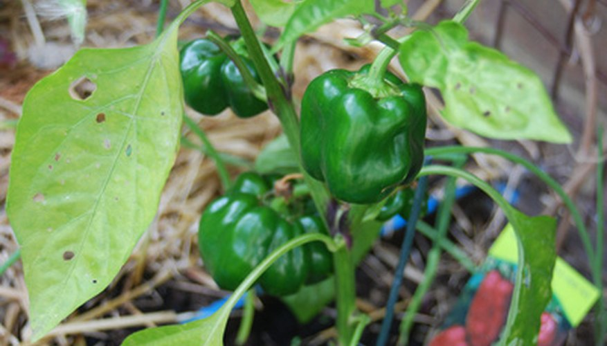 Companion planting with peppers can increase the quality of your produce.