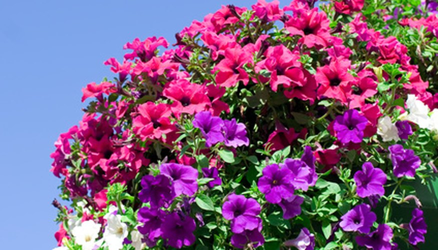 Petunias grown in hanging baskets may require daily watering.