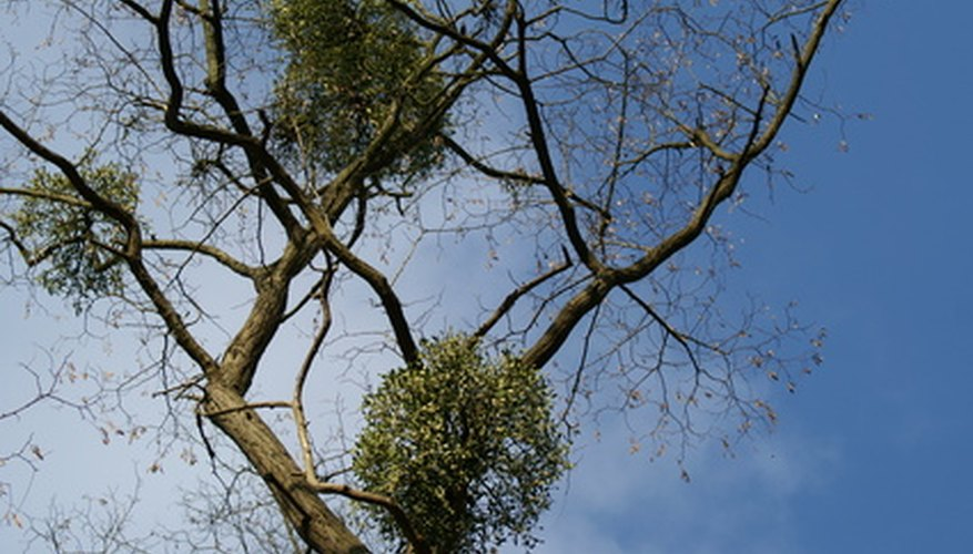 Mistletoe infesting a tree.