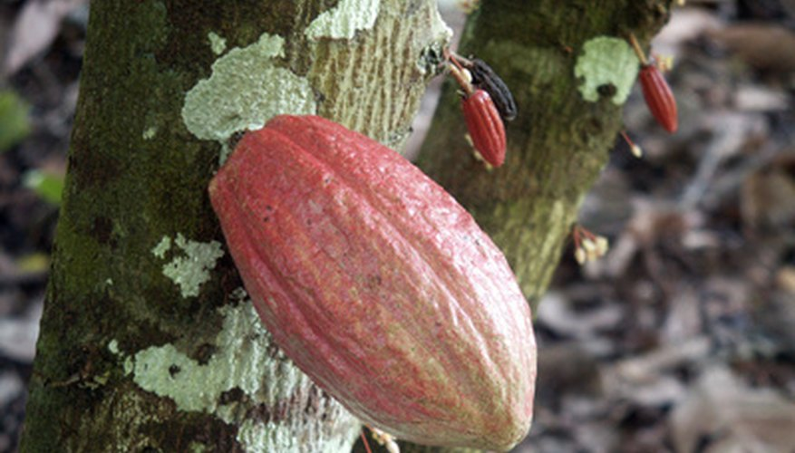 Cacao pods develop directly on the tree bark.