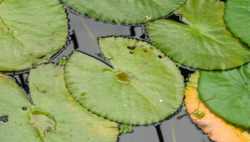 Dwarf lily pads in aquariums remove toxins and clean the water.