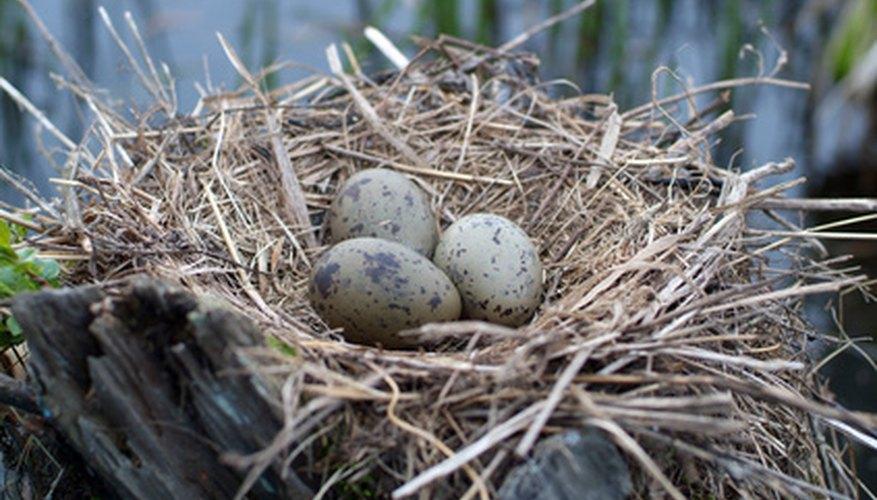 Reproduccion asexual parthenogenesis in birds