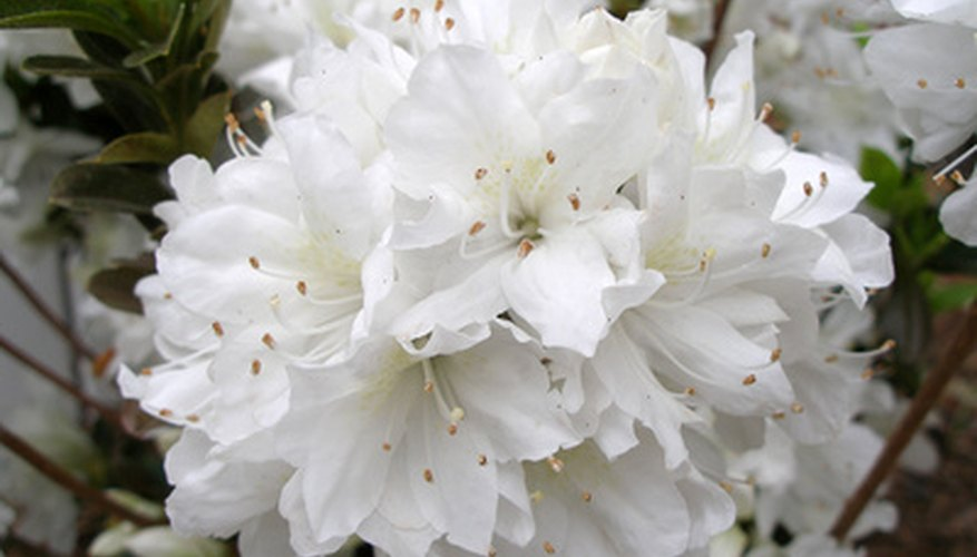 Azaleas produce showy blooms in the spring.