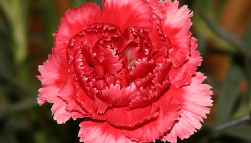 Larger flowers like carnations need a drying material like silica gel.