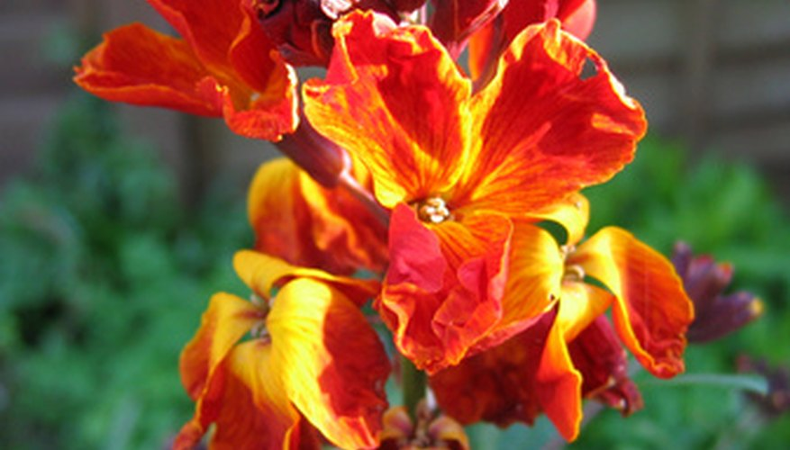 This wallflower bears fiery orange-red blossoms.
