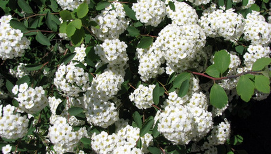 Blossoms of a snowball bush variety.