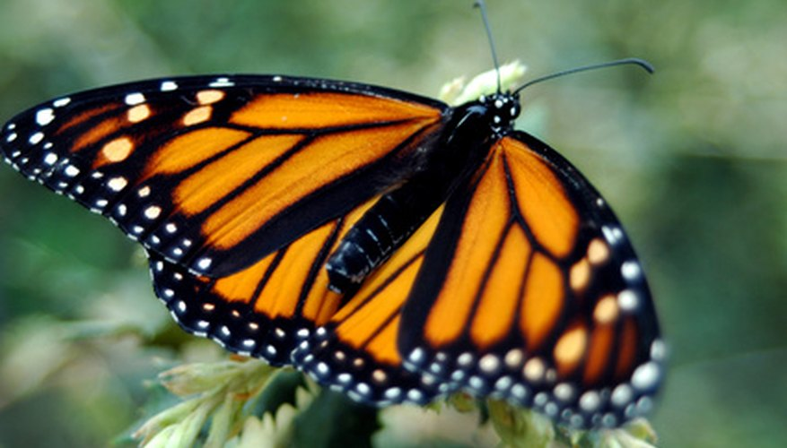 Monarch butterflies are a distinctive orange color with identifiable black stripes.