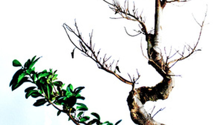 Bonsai trees may be created from dwarf ornamental trees, shrubs or scrubby evergreens.
