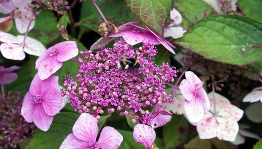 Larger flowers surround a center of smaller flowers on lacecap hydrangeas.