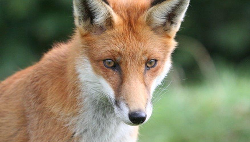 Haz que un zorro se acerque con un silbato de conejo.
