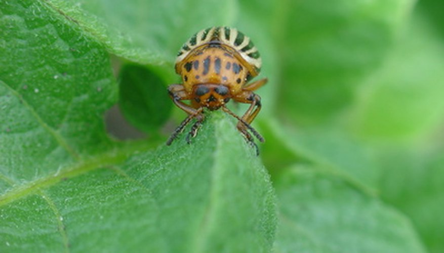 Flashy black and yellow stripes make the Colorado potato beetle easy to recognize.