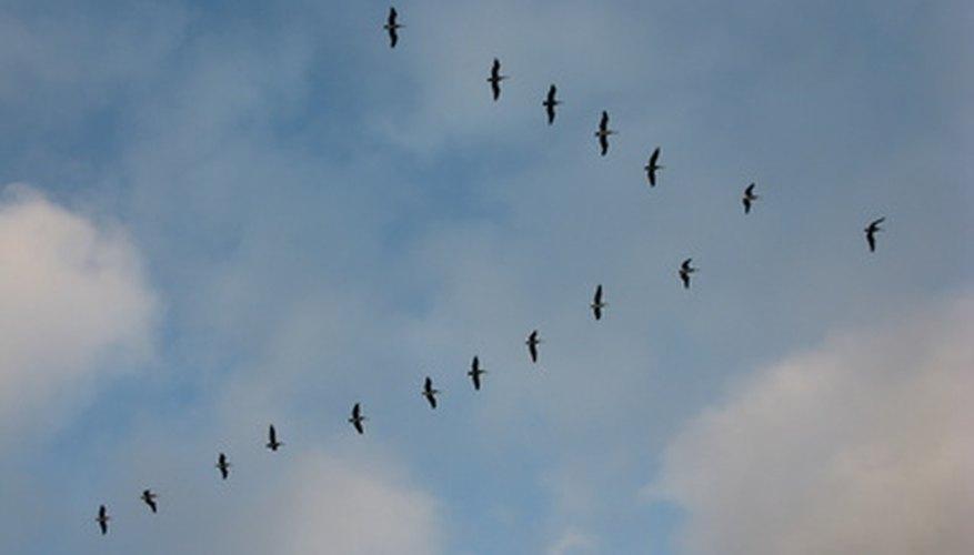 Muchas especies de pájaros migran al sur en el invierno y al norte en primavera.