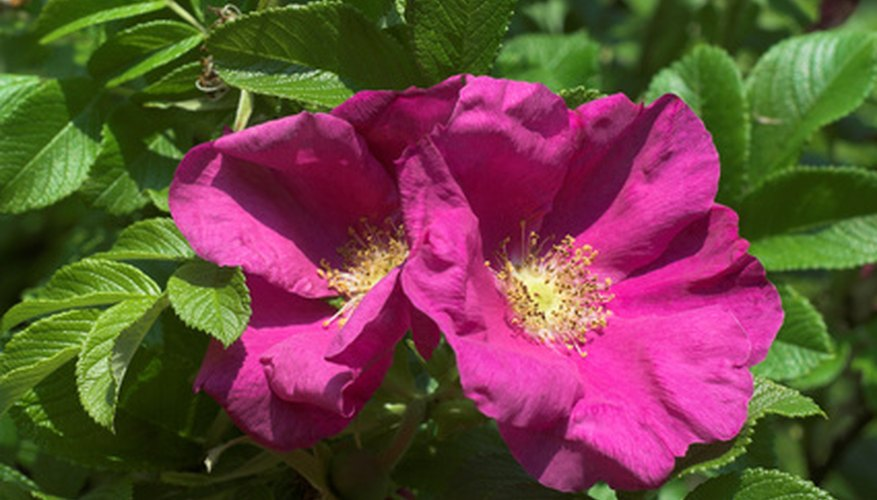Wild rose plant identification garden guides wild rose plants have a loose relaxed form and are often hardy and drought tolerant their flowers are generally smaller than cultivated varieties and may mightylinksfo