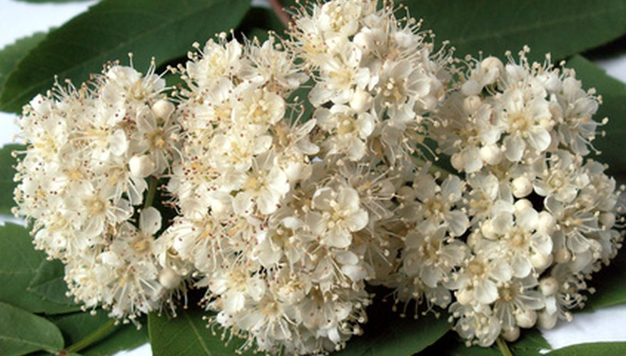 List Of Shrubs With White Flowers Garden Guides