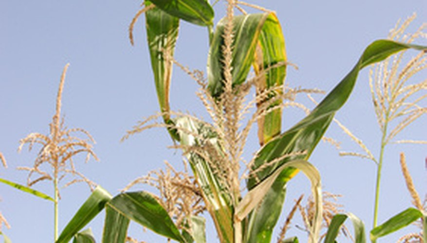 A corn plant in tassel