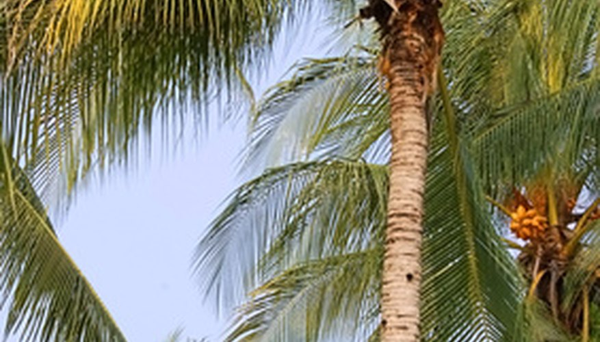 The stately coconut palms have roots adapted for saline water and to anchor them in high winds of tropical storms.