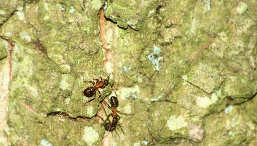 There are a number of ways to get rid of ants naturally.