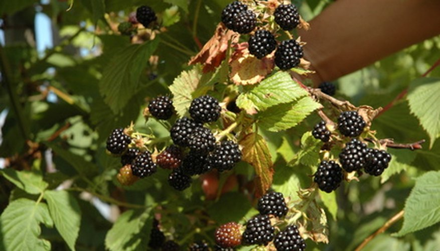 Blackberry bushes thrive in sunny areas.